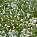 2020 La prairie fleurie à Coetcandec