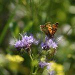 Papillon, Mégère à Coetcandec