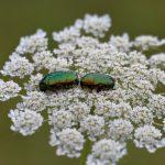 La prairie à Coetcandec, deux cétoines dorées