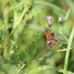 Le cuivré, papillon sur une fleur de chardon dans la prairie à Coetcandec