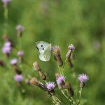 Une piéride sur fleur de chardon dans la prairie à Coetcandec