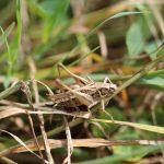 Une sauterelle, prairie de Coetcandec
