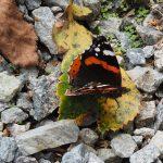 Papillon, un vulcain à Coetcandec