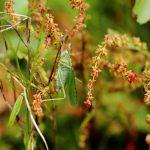 2021 Coetcandec, prairie, Grande sauterelle verte sur rumex