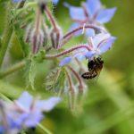 2021 Coetcandec, prairie, Abeille mellifère sur fleur de bourrache